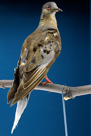 The body of Martha, the last passenger pigeon, who died on September 1 1914, on display at the Smithsonian in Washington DC